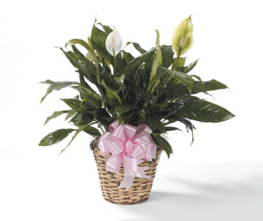 CTT6721 Peace Lily Plant from Yesterday's and Tomorrows in Warner Robins, GA
