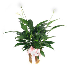 Peace Lilly Plant from Yesterday's and Tomorrows in Warner Robins, GA